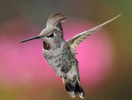annas_hummingbird_2